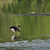 Double-crested cormorant (Phalacrocorax auritus) flying over pond in spring