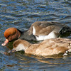 Red-crested pochard pair (Netta rufina) drinking together during courtship season