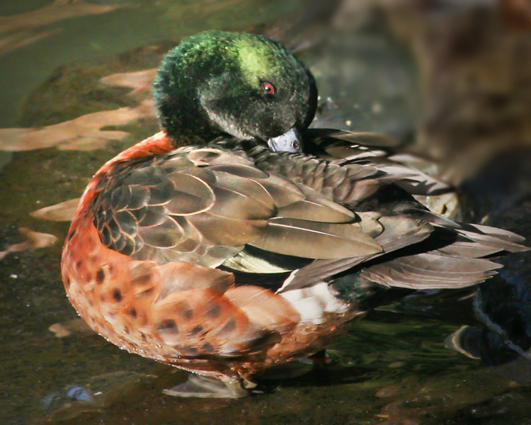 Chestnut-breasted teal drake (Anas castanea) preening during courtship season