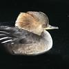 Hooded Merganser Hen (Lophodytes cucullatus) swimming