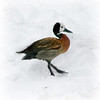 White-faced duck (Dendrocygna viduata) walking in the snow