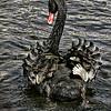 Rear view of Black swan (Cygnus atratus) swimming away