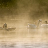 Several waterfowl couples enjoy the morning mist