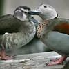 Ringed teal pair (Callonetta leucophrys) touching beaks during courtship season