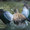 Abyssinian blue-wionged goose (Cyanochen cyanoptera) in water spreading his wings