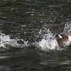 Red-crested pochard (Netta rufina ) drake rascing through water