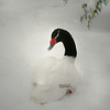 Black-necked swan (Cygnus melancoryphus) nestline in the snow