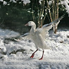 """Snow goose (Chen caerulescens)  """"displays"""" feathers after heavy snowfall"""