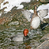 Redhead duck female (Aythya americana) performing for male in courtship season