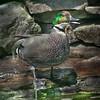 Falcated duck drake (Anas falcata) quacking