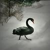 Black Swan (Cygnus atratus) walking in snow