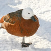Paradise Shelduck (Tadorna variegata) stands on one foot in the snow