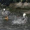 Emperor Goose (Chen canagica) performs waterbath for companion