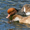 Red-crested pochard (Netta rufina)drinking together during courtship season