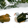 King eider pair (Somateria spectabilis) courting in the snow