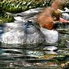 Common Merganser (Mergus merganser ) swimming