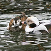 Long-tailed duck pair (Clangula hyemalis) courting