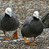 Emperor Goose (Chen canagica) walking on rocky bank