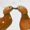 Ruddy shelduck couple (Tadorna ferruginea) nibbling each others' bills in the snow