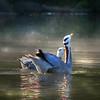 Bar-headed goose pair (Anser indicus) swim in misty pond