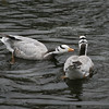 Bar-headed goose pair (Anser indicus)
