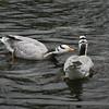 Bar-headed goose pair (Anser indicus)