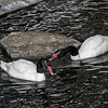 Black-necked swan pair (Cygnus melancoryphus) communicating