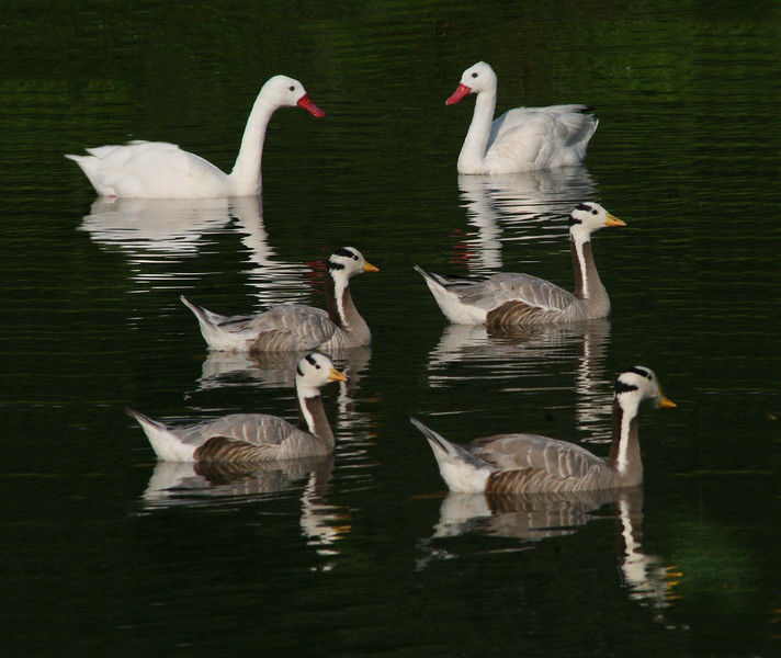 Three pairs of waterfowl swim in a pond