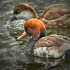 Red-crested pochard pair (Netta rufina ) swimming together