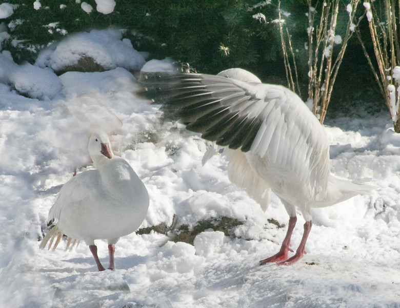 Snow goose (Chen caerulescens) displays for companion after heavy snowfall