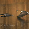 Canada Geese pair (Branta canadensis) flies over pond in Autumn