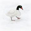 Black-necked swan (Cygnus atratus) walking in the snow