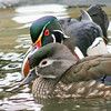 Wood Duck pair (Aix sponsa) close up