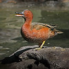 Cinnamon teal (Anas cyanoptera ) drake displaying