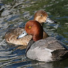 Redhead duck pair (Aythya americana) in courtship season