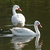 Coscoroba Swan pair (Coscoroba coscoroba) swimming in pond in courtship season