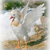 White Mandarin (Aix galericulata,) Drake flapping his wings