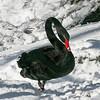 Black swan (Cygnus atratus) standing in snow