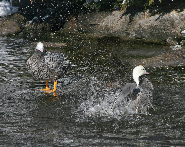 Emperor Goose (Chen canagica) performs waterbath for companion