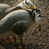 Close up of Bar-headed goose pair (Anser indicus)