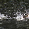 Red-crested pochard (Netta rufina ) drake rascing through water