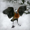 White-faced duck (Dendrocygna viduata) spreading his wings in the snow