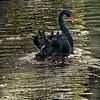 Black Swan (Cygnus atratus) swimming in ;ond