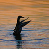 Mallard duck (Anas platyrhynchos) flapping wings at sunset