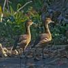 Fulvous duck pair (Dendrocygna bicolor)