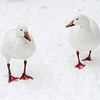 Snow goose pair (Chen caerulescens) walk in the snow