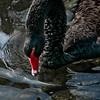 Black swan (Cygnus atratus) stares at reflection in pond