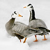 Bar-headed goose pair (Anser indicus) in the snows