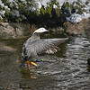 Emperor Goose (Chen canagica) dries off after water bah