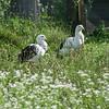 Andean Goose pair (Chloephaga melanoptera)